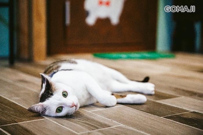超有人氣的貓店長Coco,萌翻天的樣子真的是超療癒